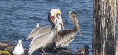 Pelicans seen on a sailing tour